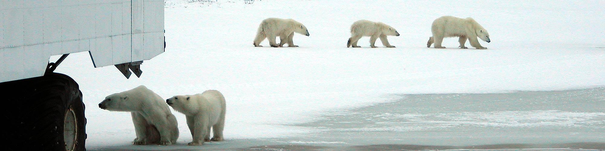 Osos polares. Aventura en la tundra canidiense - El Pais Viajes