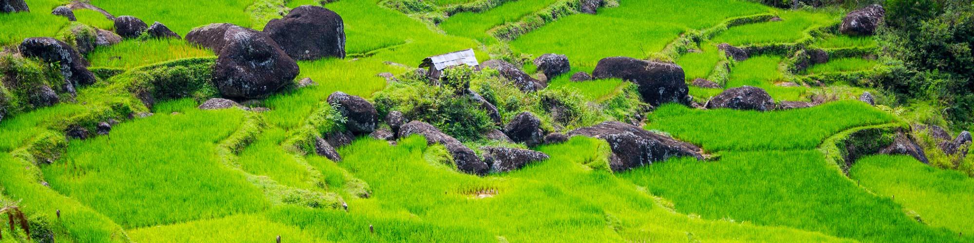 Campo de arroz campo, Sulawesi, Indonesia - El Pais Viajes
