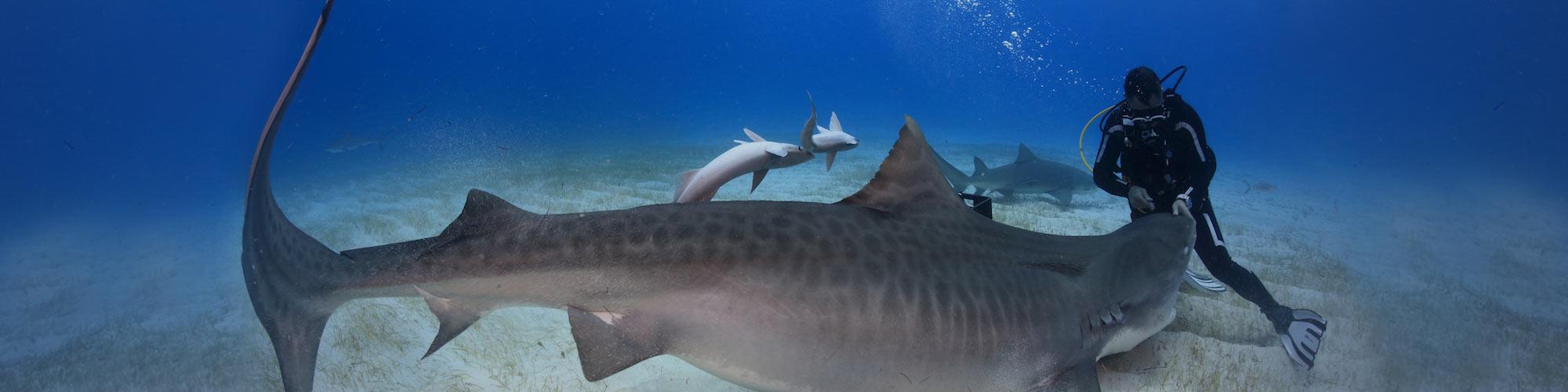 Buceo en Maldivas: Paraíso de tiburones y mantas